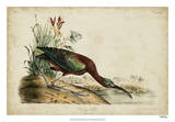 Glossy Ibis Reproduction procédé giclée par John James Audubon