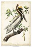 Pélican brun Reproduction procédé giclée par John James Audubon
