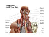 Human Anatomy Showing Deep Muscles in the Neck and Upper Back Prints
