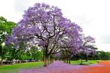 Jacaranda Tree (Jacaranda Mimosifolia), Buenos Aires City, Argentina, South America Reproduction photographique par Pablo Cersosimo