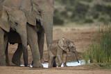 African Elephant (Loxodonta Africana) Family, Addo Elephant National Park, South Africa, Africa Fotografisk tryk af James Hager