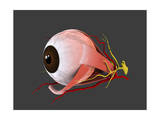 Conceptual Image of Human Eye Anatomy Posters