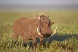 Warthog (Phacochoerus Aethiopicus), Ngorongoro Crater, Tanzania, East Africa, Africa Lámina fotográfica por James Hager