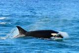 Orca (Orcinus Orca), Peninsula Valdes, Patagonia, Argentina, South America Lámina fotográfica por Pablo Cersosimo