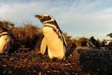 Magellanic Penguin (Spheniscus Magellanicus), Peninsula Valdes, Patagonia, Argentina, South America Lámina fotográfica por Pablo Cersosimo