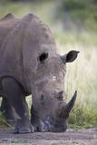 White Rhinoceros (Ceratotherium Simum), Hluhluwe Game Reserve, South Africa, Africa Lámina fotográfica por James Hager