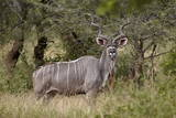 Greater Kudu (Tragelaphus Strepsiceros) Buck, Imfolozi Game Reserve, South Africa, Africa Photographic Print by James Hager