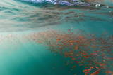 Dense Swarms of Juvenile Squat Lobster (Munida Gregaria) Off Akaroa Lámina fotográfica por Michael Nolan