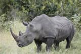 White Rhinoceros (Ceratotherium Simum), Kruger National Park, South Africa, Africa Fotografisk tryk af James Hager