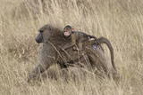 Olive Baboon (Papio Cynocephalus Anubis) Infant Riding Photographic Print by James Hager