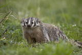 Badger (Taxidea Taxus) Photographic Print by James Hager