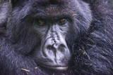Mountain Gorilla (Gorilla Beringei Beringei), Virunga National Park, Rwanda, Africa Fotografisk trykk av Michael Runkel