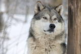 North American Timber Wolf (Canis Lupus) in Forest Photographic Print by Louise Murray