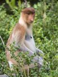 Female Proboscis Monkey (Nasalis Larvatus) Stampa fotografica di Louise Murray