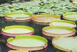 Lily Pads, Botanic Gardens, Singapore, Southeast Asia, Asia Fotografie-Druck von Christian Kober