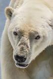 Adult Polar Bear (Ursus Maritimus) Close Up Head Detail Photographic Print by Michael Nolan