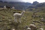 Llamas and Alpacas, Andes, Peru, South America Fotografisk tryk af Peter Groenendijk