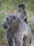Infant Chacma Baboon (Papio Ursinus) Riding Stampa fotografica di James Hager