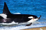 Orca (Orcinus Orca) Adult Male Hunting South American Sea Lion (Otaria Flavescens) Lámina fotográfica por Pablo Cersosimo