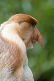 Dominant Male Proboscis Monkey (Nasalis Larvatus) Has a Pendulous Nose Stampa fotografica di Louise Murray