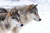 Two Sub Adult North American Timber Wolves (Canis Lupus) in Snow, Austria, Europe Fotoprint van Louise Murray