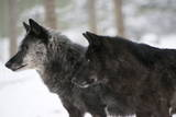 Two Black Melanistic Variants of North American Timber Wolf (Canis Lupus) in Snow, Austria, Europe Impressão fotográfica por Louise Murray