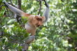 Dominant Male Proboscis Monkey (Nasalis Larvatus) Photographic Print by Louise Murray