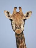 Cape Giraffe (Giraffa Camelopardalis Giraffa), Kruger National Park, South Africa, Africa Fotografisk trykk av James Hager