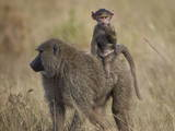 Olive Baboon (Papio Cynocephalus Anubis) Infant Riding Stampa fotografica di James Hager