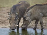Two Warthog (Phacochoerus Aethiopicus) at a Water Hole Lámina fotográfica por James Hager