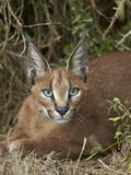 Caracal (Caracal Caracal), Addo Elephant National Park, South Africa, Africa Photographic Print by James Hager