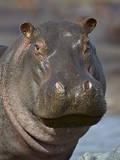 Hippopotamus (Hippopotamus Amphibius), Serengeti National Park, Tanzania Lámina fotográfica por James Hager