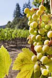 Close-Up of Grapes in a Vineyard, Napa Valley, California, United States of America, North America Lámina fotográfica por Billy Hustace