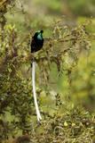 An Adult Male Ribbon Tailed Bird of Paradise Perches on a Tree Branch Lámina fotográfica por Tim Laman