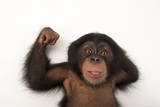 A Three-Month-Old Baby Chimpanzee, Pan Troglodytes Fotografisk tryk af Joel Sartore