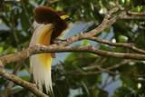A Lesser Bird of Paradise Flaunts His Flank Plumes to Entice Females Lámina fotográfica por Tim Laman