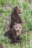 A Pair of Grizzly Bear Cubs Photographic Print by Tom Murphy