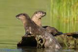 Two Northern River Otters Enjoying a Warm Summer Day Fotografie-Druck von Tom Murphy