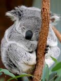 An Australian Koala Sleeps Fotografie-Druck von Barbara Walton