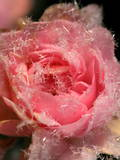 A Pink Rose Is Covered with Ice Crystals in Freiburg Photographic Print by Patrick Seeger