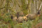 USA, Washington, Olympic NP. Roosevelt elk cows foraging. Stampa fotografica di Steve Kazlowski