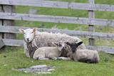 Shetland Sheep, a hardy breed of the Northern Isles in Scotland. Fotografisk trykk av Martin Zwick