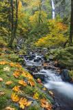 Starvation Creek Falls in the Columbia Gorge Scenic Area, Oregon, USA Stampa fotografica di Chuck Haney