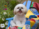Shih Tzu puppy sitting on a colorful quilt in a garden Reproduction photographique par Zandria Muench Beraldo