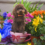 USA, California. Poodle standing in a coffee cup with flowers. Reproduction photographique par Zandria Muench Beraldo