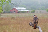 Red-tailed Hawk perched. Reproduction photographique par Larry Ditto