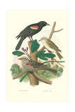 Red-Eyed Vireo, Red Wing Blackbird Affiches