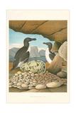 Razor-Billed Auk Egg Clutch Poster