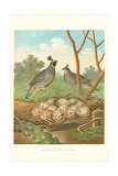 Valley Quail Nest and Eggs Posters