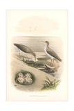 Spotted Sandpipers, Eggs Print